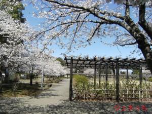 玉敷公園桜2013