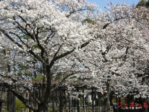 玉敷公園桜2013①