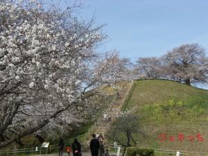 さきたま古墳の桜①