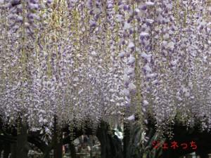 藤祭り2012