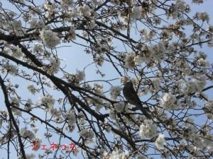 さきたま古墳の桜②