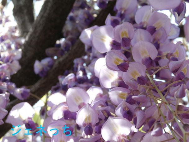 大藤の花、紫が鮮やかです