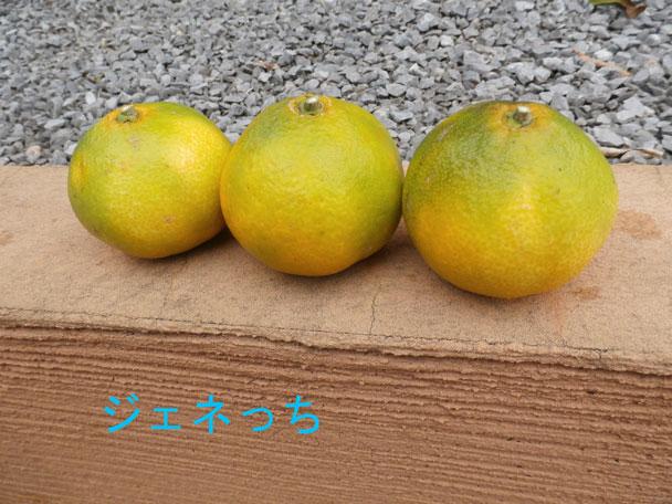 みかん、3個収穫