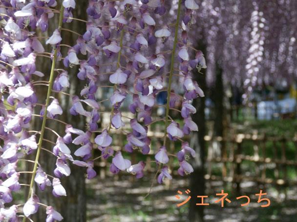 藤の花2015