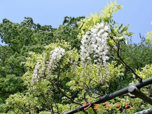 青空と白い藤の花