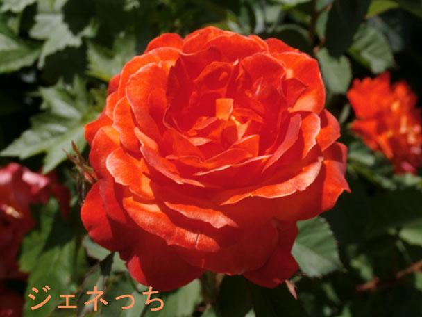 トレジャーガーデン、咲くバ