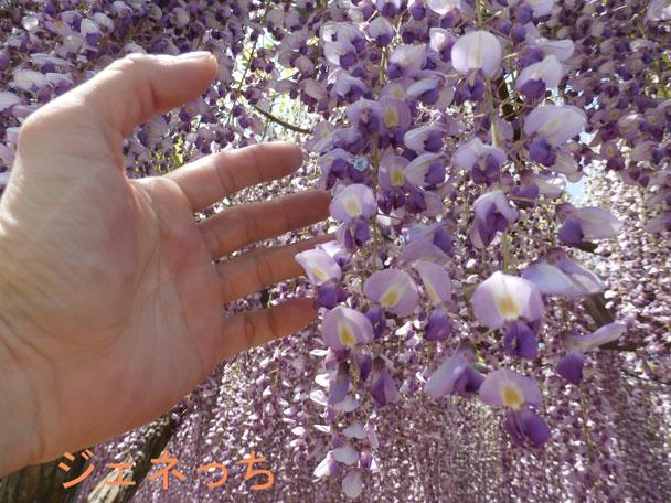 手を伸ばして藤の花