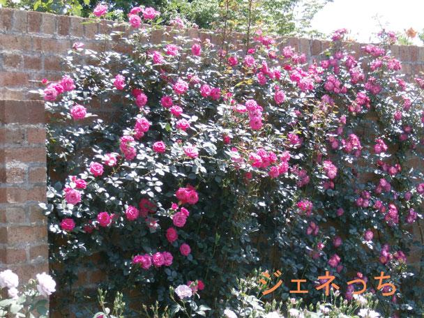 壁にバラの花