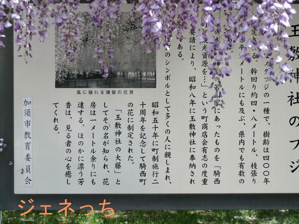 玉敷神社のフジについて