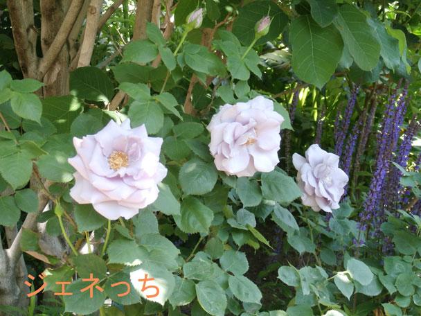 可愛く咲くバラ
