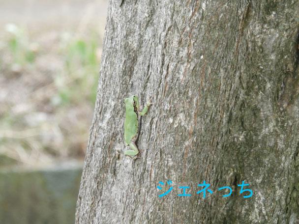 木に登るカエル