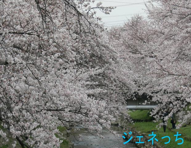 吹上会場両岸桜咲く