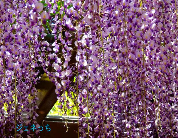 2016藤の花撮影の仕方を変え
