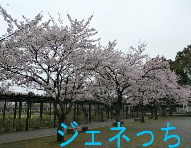 玉敷公園桜さく