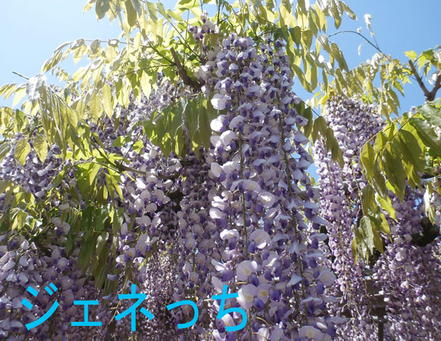 2016藤の花