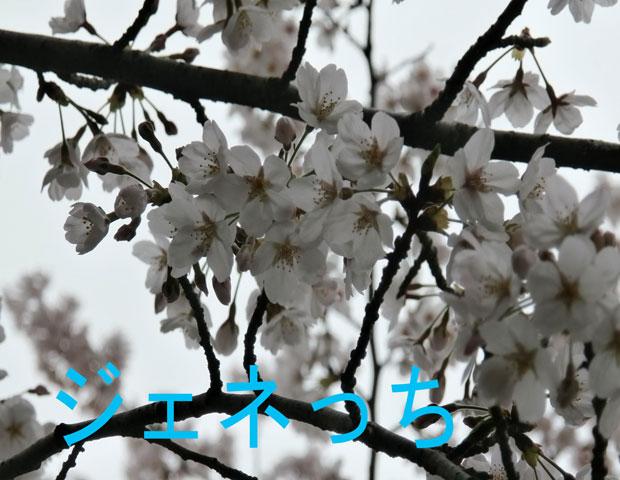 玉敷公園桜アップ