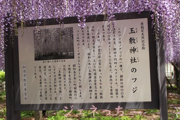 玉敷神社のフジ 県指定天然記念物