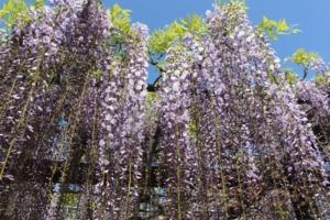 藤の花がきれいに咲いています