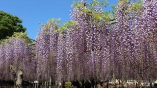 玉敷公園 藤の花