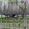 藤の花大棚2021年5月5日