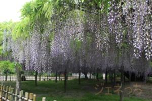 藤の花 大棚